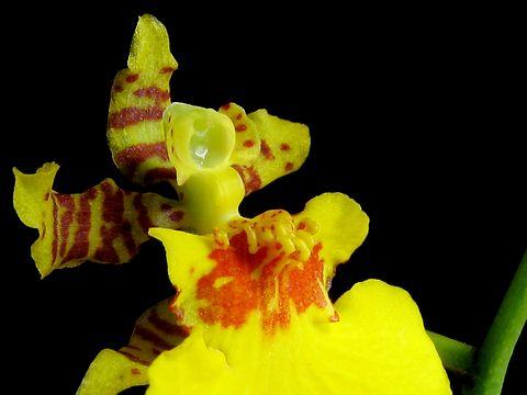 オンシジュームの花