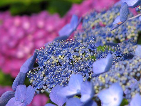 紫陽花(あじさい)の花・世界の梅公園あじさい坂/たつの市御津町
