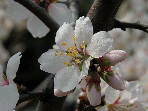 アーモンドの花/神戸市東灘区・東洋ナッツ食品(株)