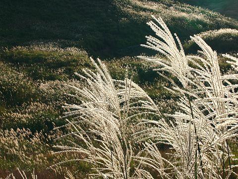 すすきの草原/神河町・砥峰高原