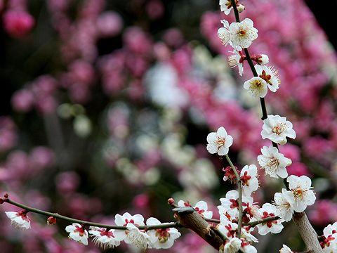 神戸須磨離宮公園の梅園「梅花園」の梅の花/神戸市