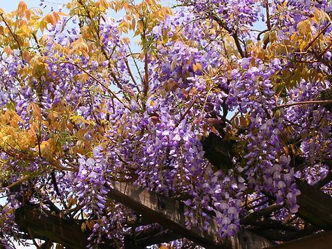 尼崎農業公園春の花・藤の花/尼崎市