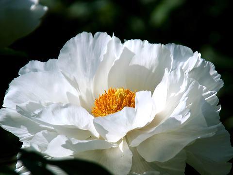 牡丹寺・隆国寺の牡丹(ボタン)の花/豊岡市