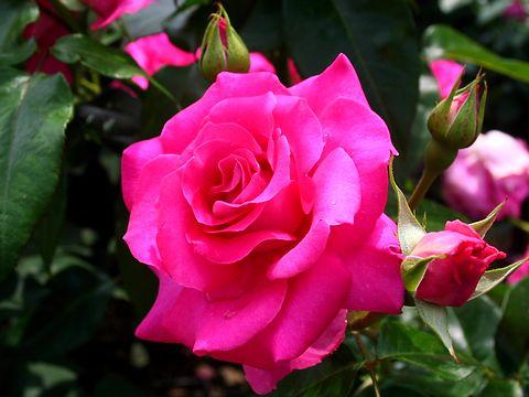 薔薇(バラ)の花・播磨中央公園バラ園/加東市