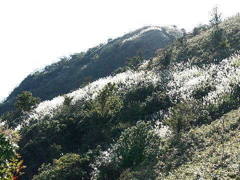 千ヶ峰山頂付近のすすきの群落