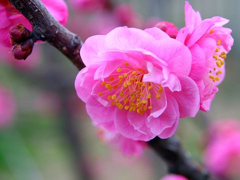 曽根天満宮の梅の花/高砂市