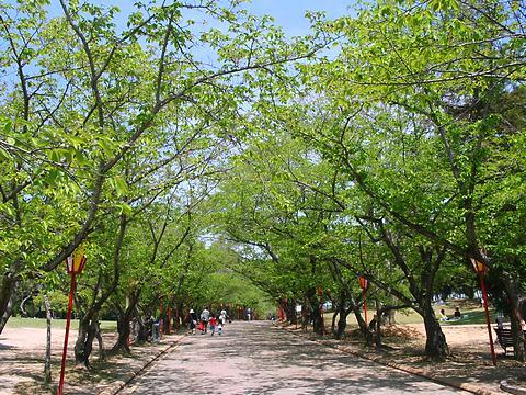 日岡山公園の桜の新緑/加古川市