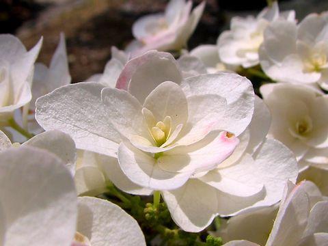 紫陽花(アジサイ)の花・姫路手柄山植物園/姫路市