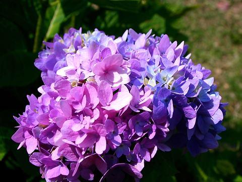 紫陽花(アジサイ)の花・須磨離宮公園/神戸市須磨区