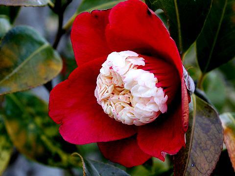 椿(つばき)の花/春の花写真画像
