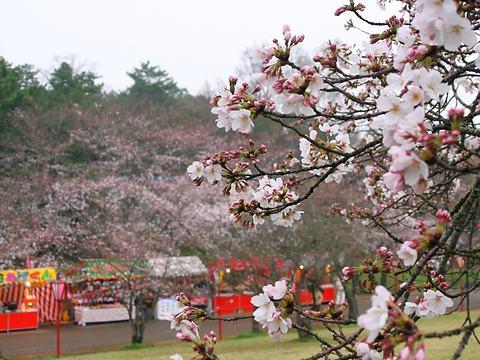 日岡山公園の桜/加古川市