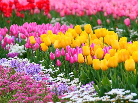 チューリップの花・但東チューリップ祭り2007/豊岡市但東町