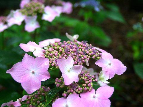 紫陽花(アジサイ)の花・神戸森林植物園あじさい園/神戸市