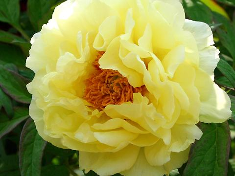 牡丹(ボタン)の花/春の花写真画像