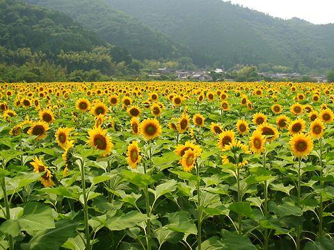 ひまわり畑とひまわりの花/佐用町南光地区・宝蔵寺