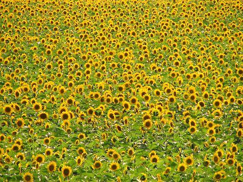 ヒマワリ畑とヒマワリの花/佐用町南光地区・漆野