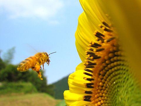 蜜蜂(ミツバチ)と向日葵(ヒマワリ)の花/佐用町南光地区・漆野