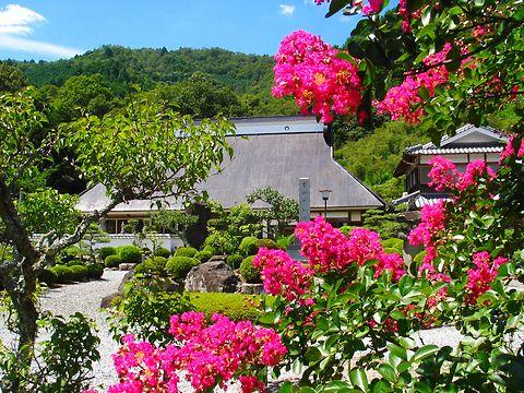 百日紅(サルスベリ)の花・写真