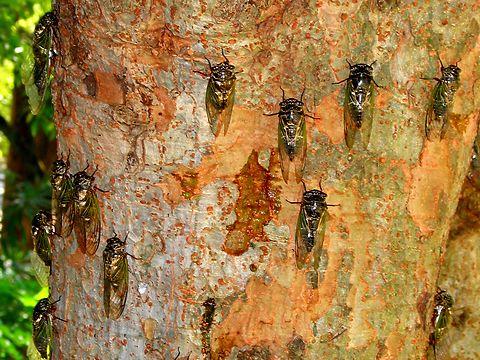 Semi蝉(セミ)の写真・昆虫の写真