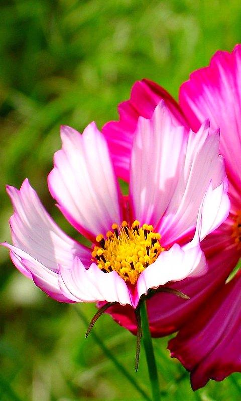 コスモスの花・WVGA(480×800)壁紙・携帯待受画像
