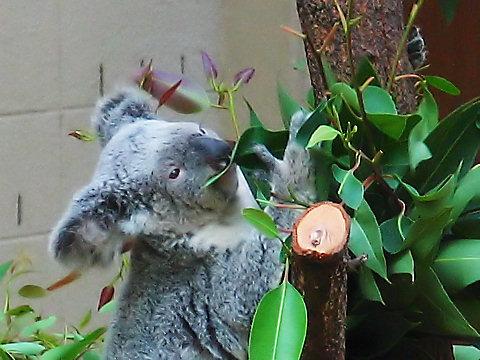 コアラの写真画像