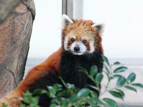 レッサーパンダの写真画像