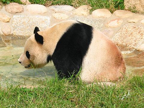 パンダの写真画像
