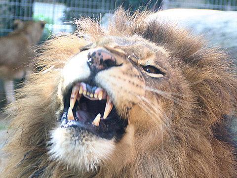 ライオンの写真画像/神戸市立王子動物園