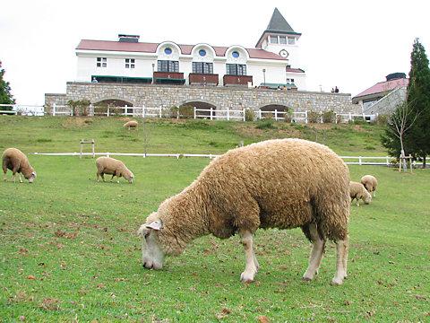 六甲山牧場と羊/神戸市