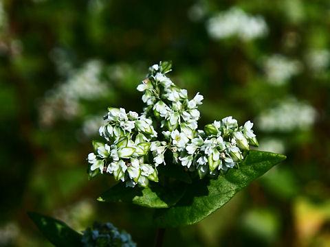 ソバの花(蕎麦の花)