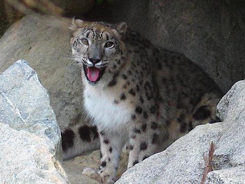 ユキヒョウの写真画像/神戸市立王子動物園