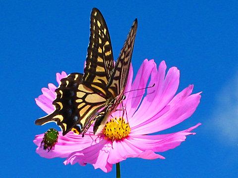 コスモスの花と昆虫の写真画像