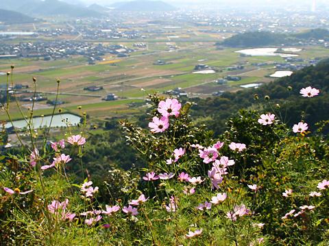 高御位山山麓のコスモスの花と志方町の田園風景/加古川市