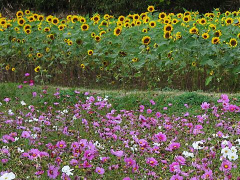 志方のコスモスの花と秋咲きのひまわりの花