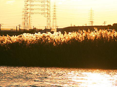 加古川の夕日に輝くススキと水面