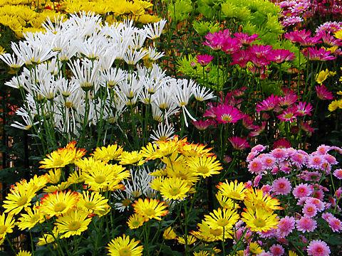 兵庫県連合菊花展覧会・加西フラワーセンター