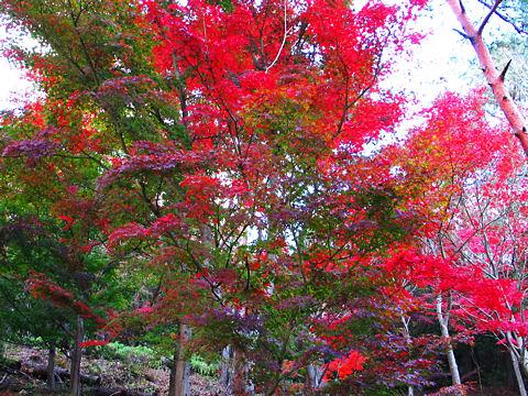 兵庫県加西フラワーセンターの紅葉
