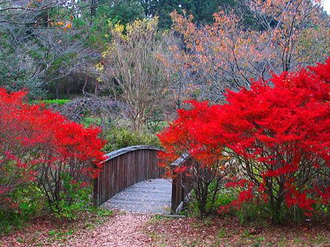 古法華自然公園の紅葉・ドウダンツツジの紅葉