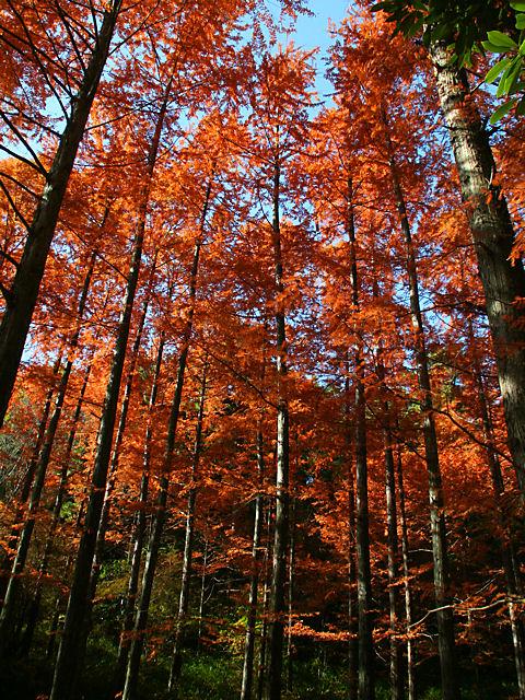 神戸森林植物園のメタセコイア並木の紅葉