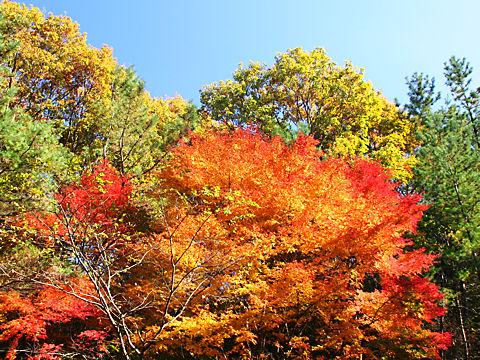 神戸森林植物園のもみじの紅葉