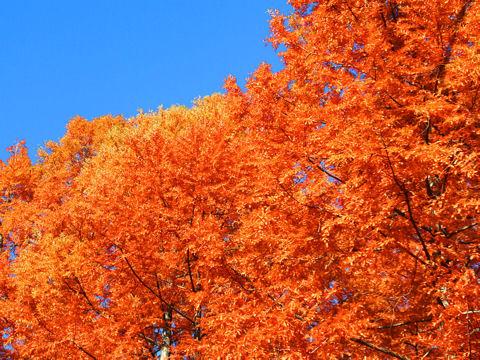 神戸森林植物園の紅葉