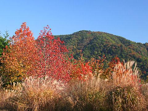 神戸森林植物園のモミジバフウの紅葉とススキ