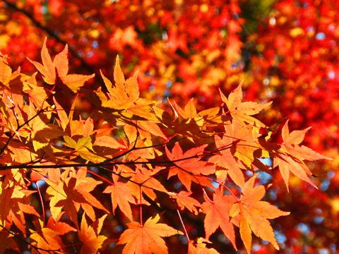 もみじの紅葉・神戸森林植物園