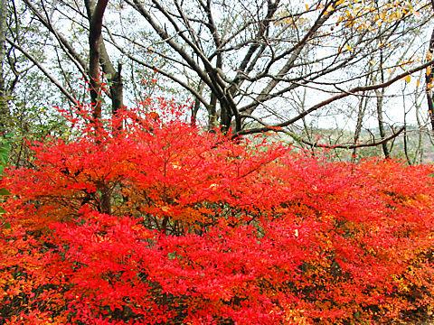 奥摩耶ドライブウェイのドウダンツツジの紅葉
