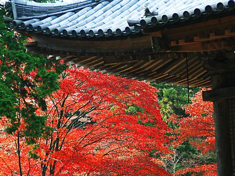 書写山円教寺のモミジの紅葉