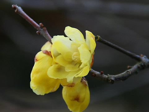 蝋梅(ロウバイ)の花の写真