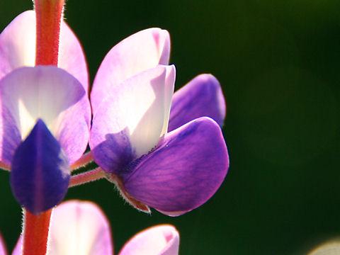 味わいの里三日月のルピナスの花