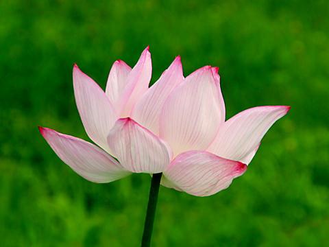 ハス(蓮)の花/夏の花