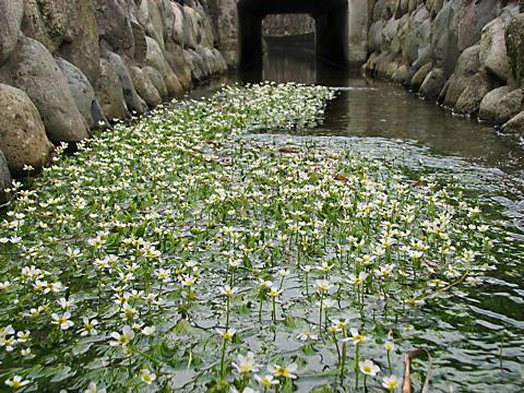 バイカモ(梅花藻)の花