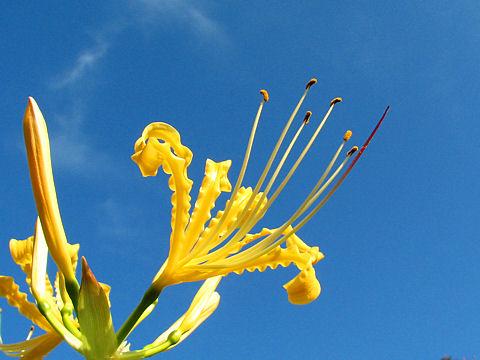 黄色の彼岸花の写真画像